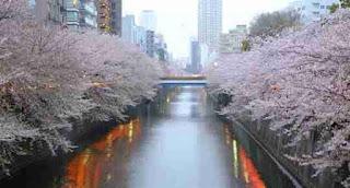 sungai meguro bunga sakura pohon river