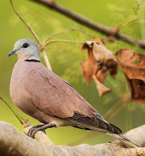Red turtle dove - Streptopelia tranquebarica
