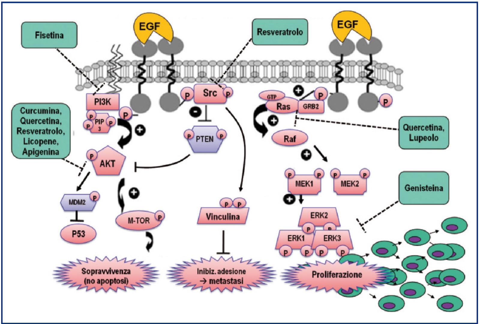 figura 2 principali vie di trasduzione del segnale per fattore di crescita dell epidermide egf