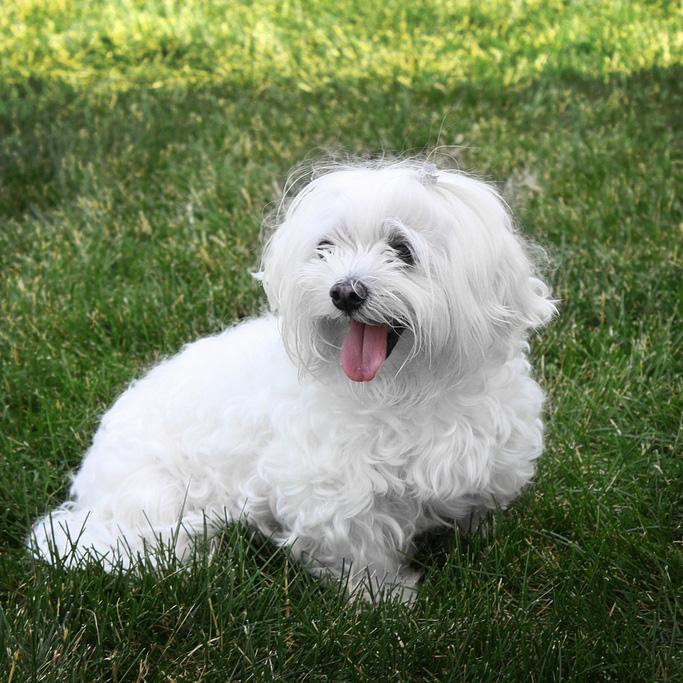 Dog-breed-Maltese-in-grass