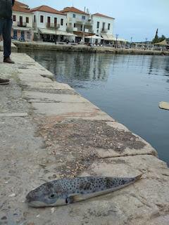 Ψάρεψαν στην Πύλο το επικίνδυνο ψάρι λαγοκέφαλο!