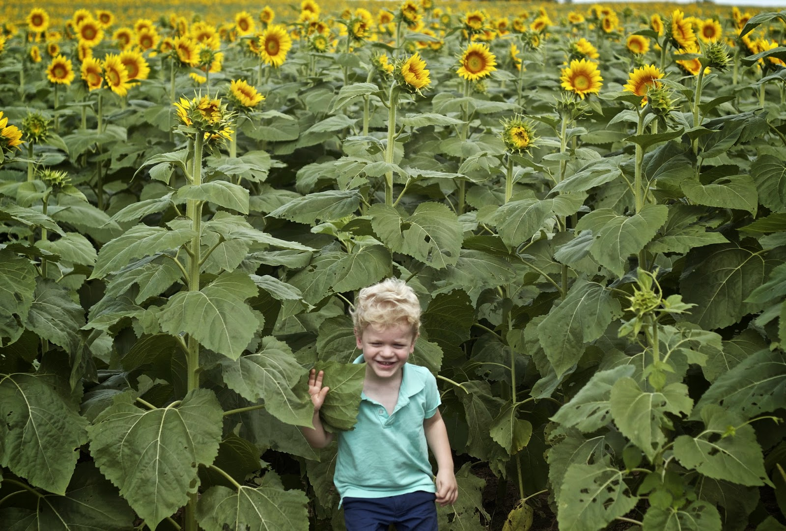 The Sunflower Field in Kansas
