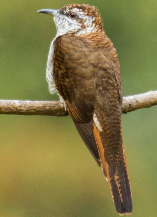Indian birds - Image of Banded bay cuckoo - Cacomantis sonneratii