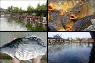 Kumpulan Resep Jitu Umpan Oplosan Galatama Ikan Mas Lengkap Dan Terbukti Ampuh