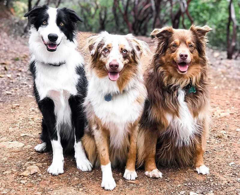 All About The Australian Shepherd Dog