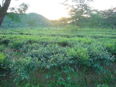 Lobhachora Tea Estate, Sylhet