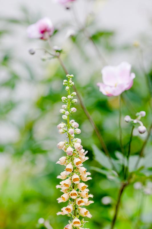 Gartenimpressionen im August, Pomponetti, Fingerhut und Japan. Anemone