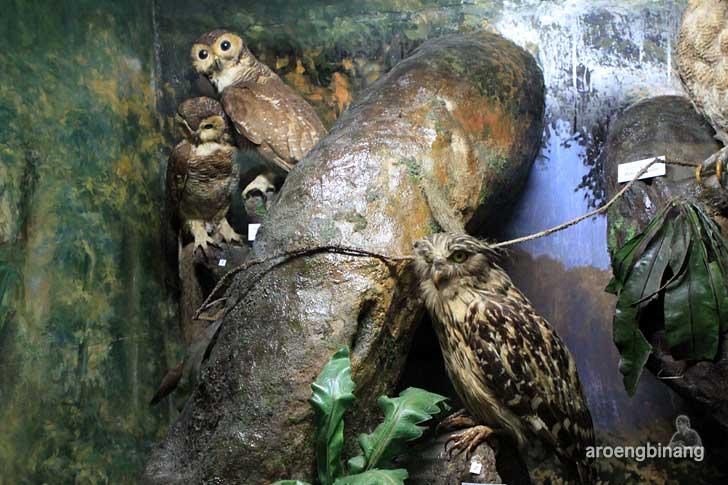 burung hantu ketupa serak hutan museum zoologi bogor