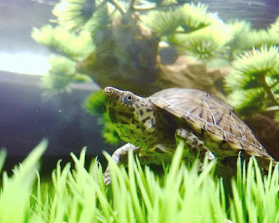 Habitat kura-kura Razorback