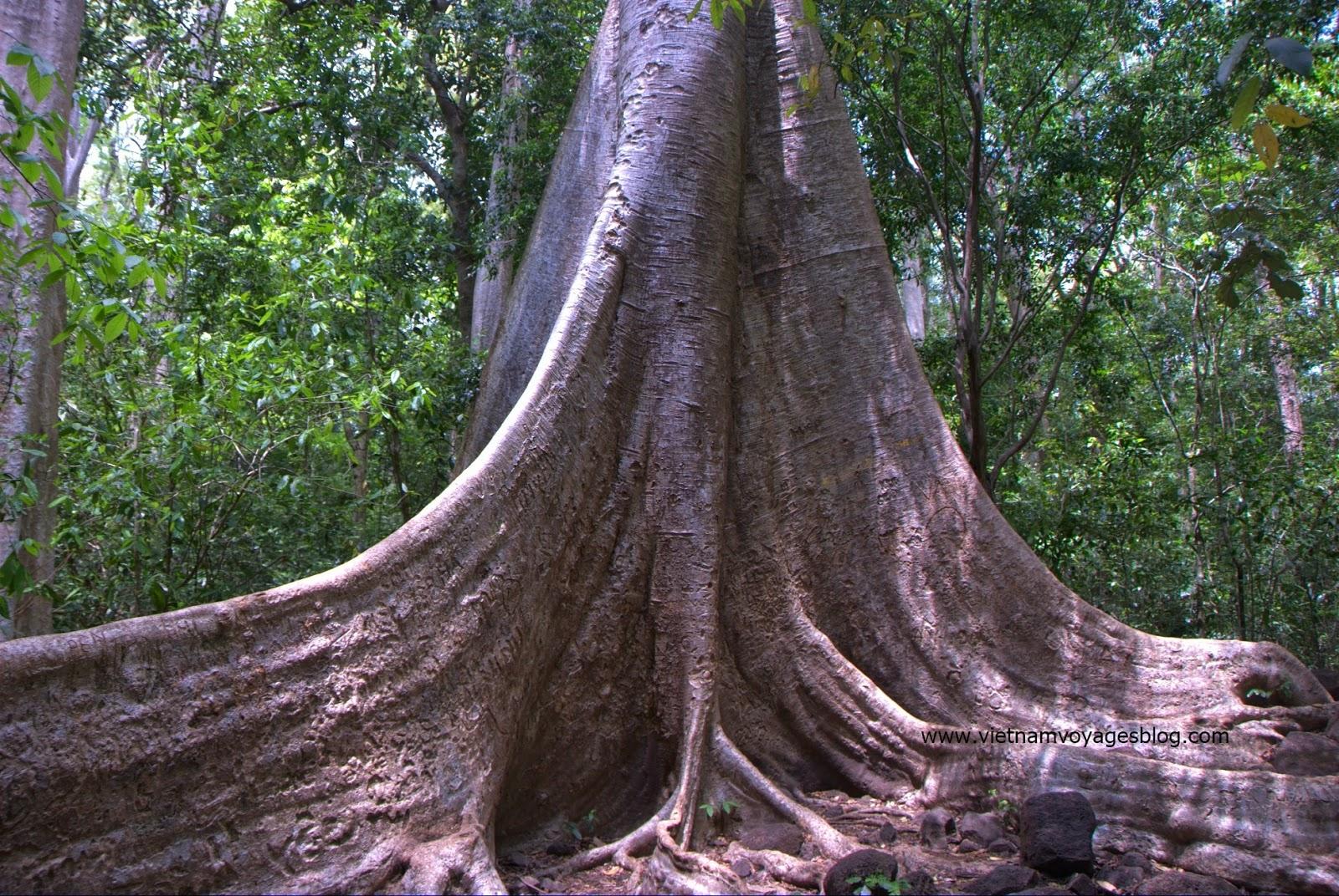 Cây Tùng cổ, vườn quốc gia Nam Cát Tiên
