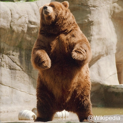 Beruang Cokelat atau The brown bear (Ursus arctos)