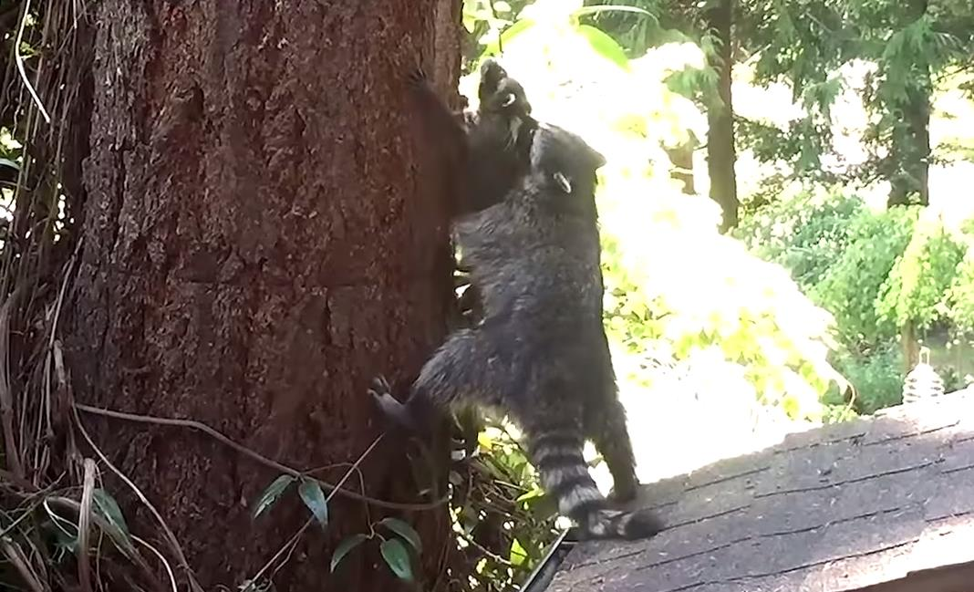 Hermoso mam mapache ense a a su cr a c mo subir a un for Como obtiene su alimento un arbol