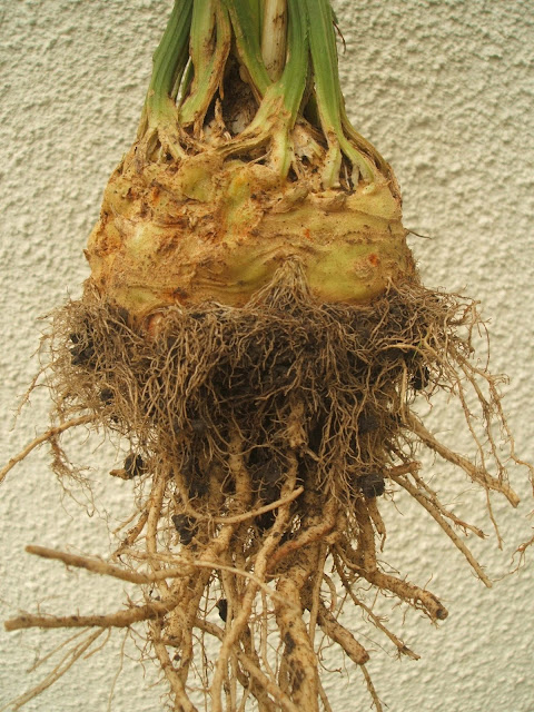 photo displaying the muddy roots of a celeriac plant