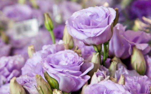 Originalmente, o lisiantos apresenta flores brancas ou roxas. Mas, com a produção de híbridos comerciais, novas cores foram desenvolvidas, em diferentes tons de rosa, azul e lilás, incluindo tonalidades mescladas. As pétalas, originalmente simples, aumentaram em tamanho e quantidade, assemelhando-se a grandes rosas.