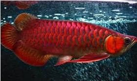 Jenis Jenis Ikan Hias Arwana Dan Harganya Di Pasaran
