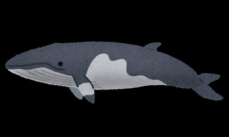 ミンククジラのイラスト鯨 かわいいフリー素材集 いらすとや