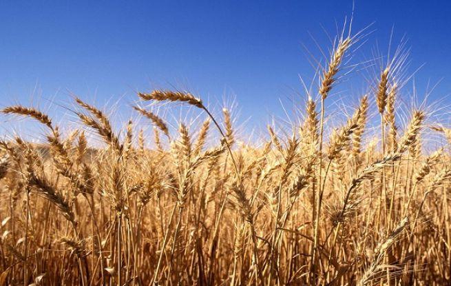 لجنة تقصي الحقائق تقضي بأن عينات القمح صالحة وتفاصيل أكبر عملية فساد وغش تجاري في صوامع القمح في تاريخ مصر