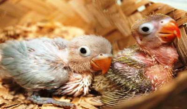 merawat lovebird anakan