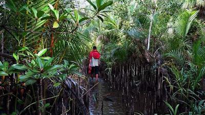 """"""" Harus Ada Penegakan Hukum Bagi Pembabat  Hutan Mangrove Untuk Jalan  di Apar """""""