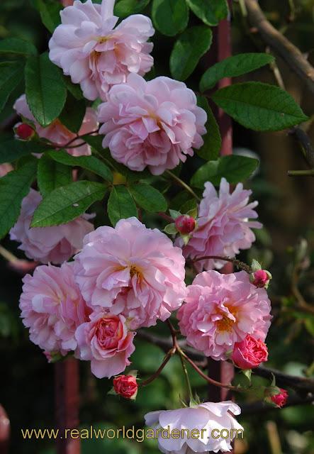 1-Rosa_Cornelius4.JPG