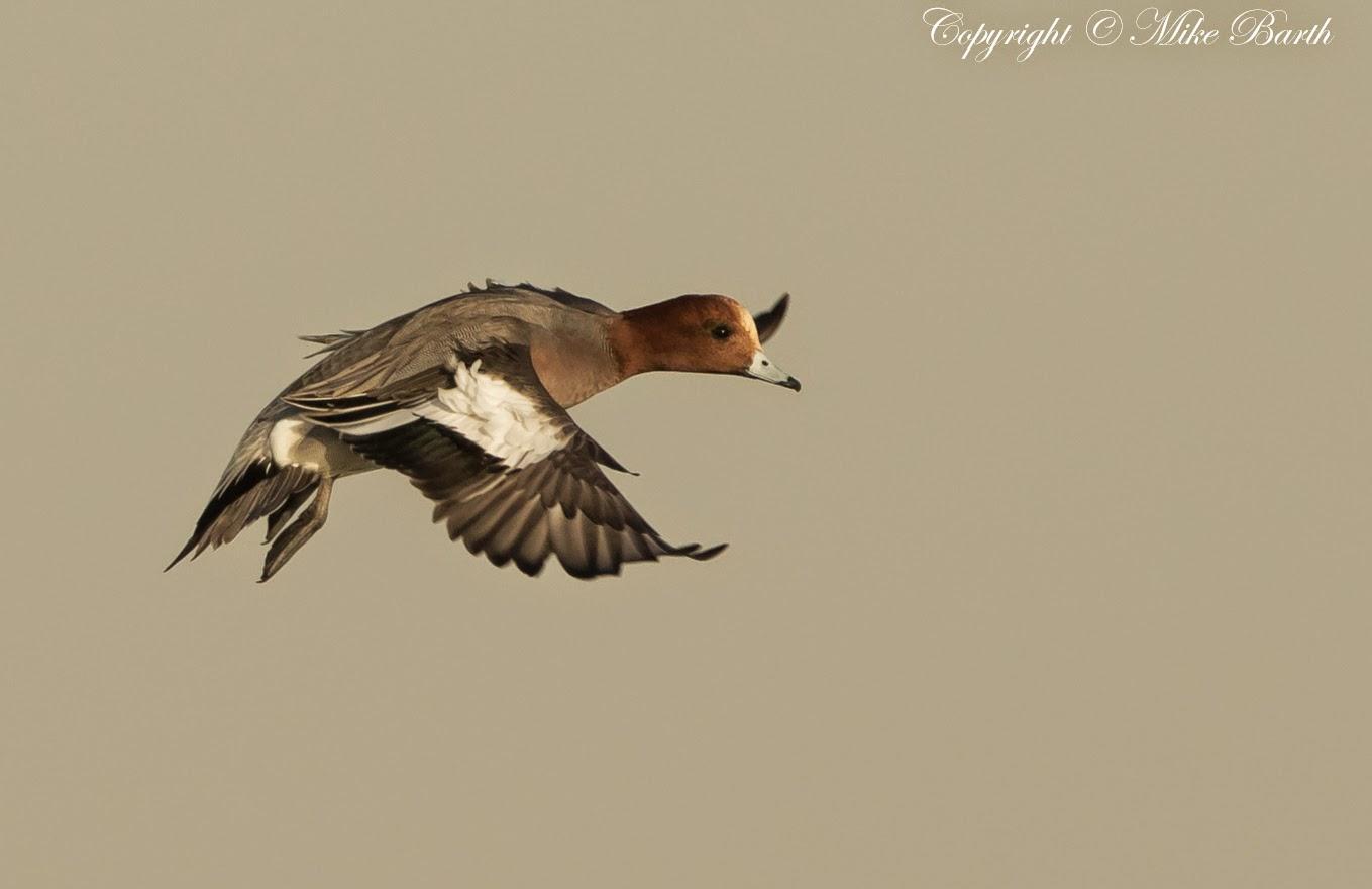 Desert Ducks