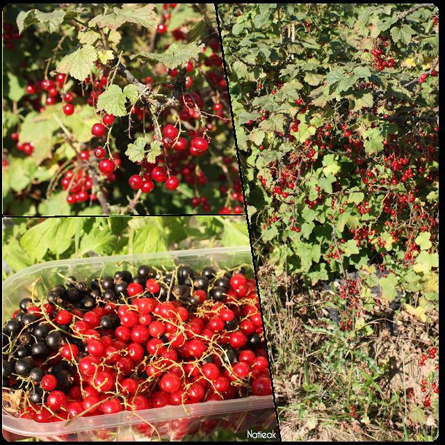 groseilles  de  la ferme de Servigny