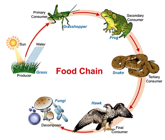 Food chain illustration