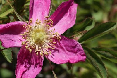[Rosaceae] Rosa spp.