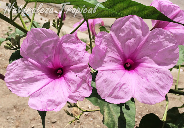 Flores típicas de la Campanita Morada, Ipomoea carnea