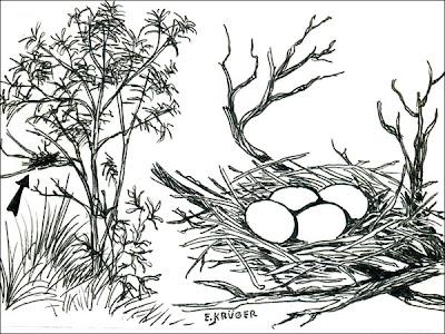 Dark billed Cuckoo