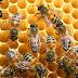 Bal Arıları ve Bilinmeyen Özellikleri