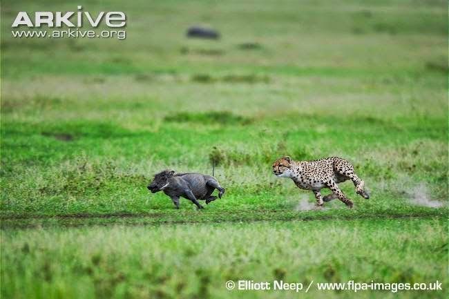 Warthog and cheetah