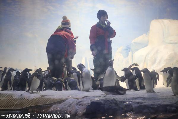 還可以看到上百隻可愛國王企鵝的餵食秀,感覺好有趣