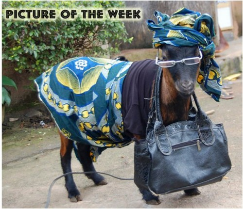 Funny Goat Facts And New Pictures Funny And Cute Animals