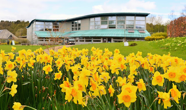 An array of daffodils with a blue building in the background at RHS