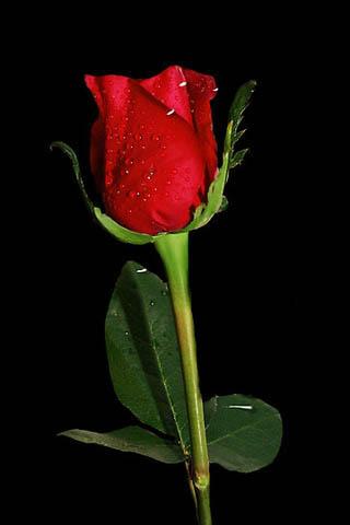 Wallpaper free download red rose wallpapers - Black red rose wallpaper ...