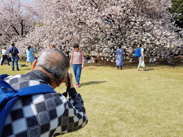 滿開的櫻花樹,拼命取景拍照啊