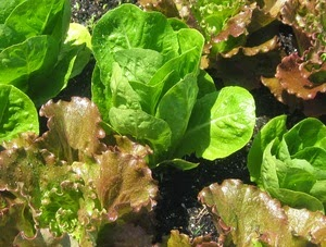 lettuce in raised garden bed