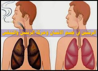 الرئتين في جسم الانسان وحركة الرئتين والتنفس