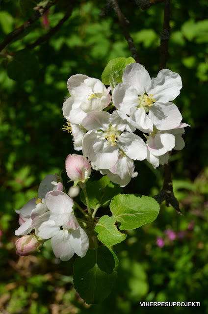 Omenapuu kukassa, keltainen kaneli