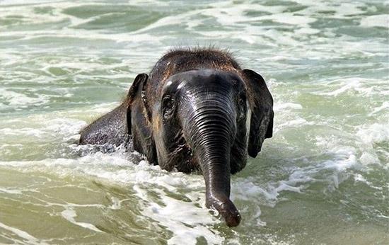Elefante nadando mar - Img 2
