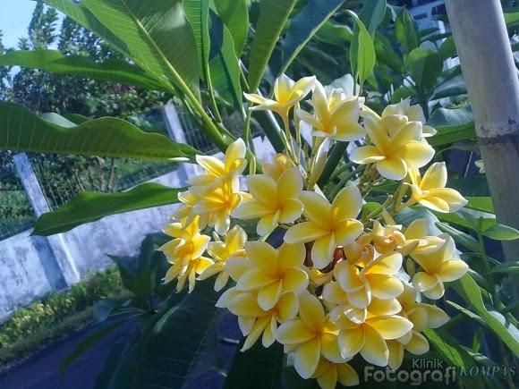 Kamboja Kuning