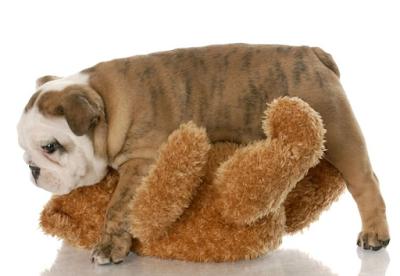 ¿Monta perros juguetes personas?