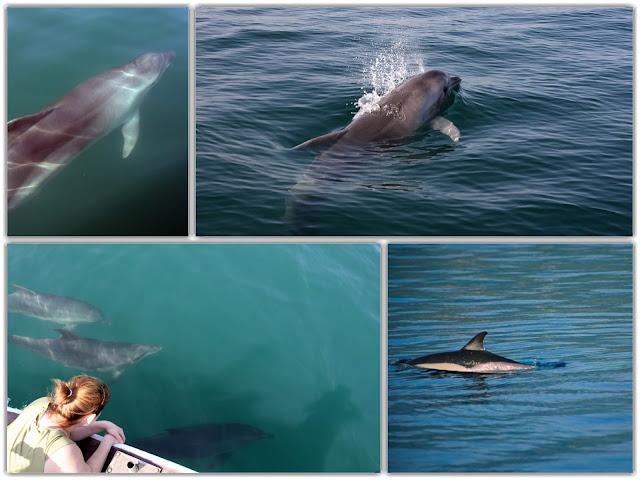 Γνωριμία με τα προστατευόμενα ρινοδέλφινα του Αμβρακικού