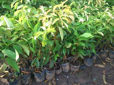 pohon jambu monyet jambu jamaika tanaman jambu jamaica