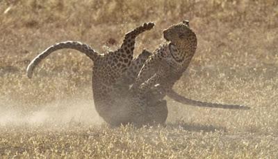 Foto-foto Dramatis Pertarungan Dua Macan Tutul