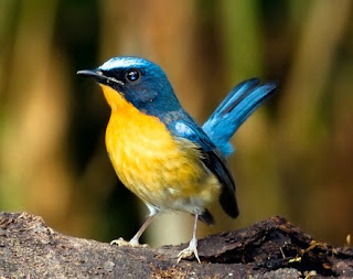 Cara Dan Tips Akurat Proses Perawatan Burung Sulingan/Tledekan Supaya Bisa Gacor Setiap Hari Paling Lengkap