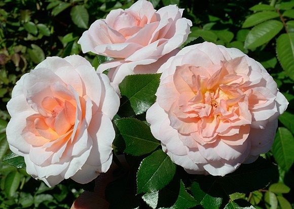 Schloss Eutin сорт розы Кордес фото