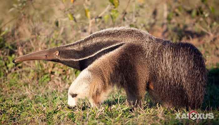 Binatang pemakan semut - Trenggiling Raksasa (Giant Anteater)