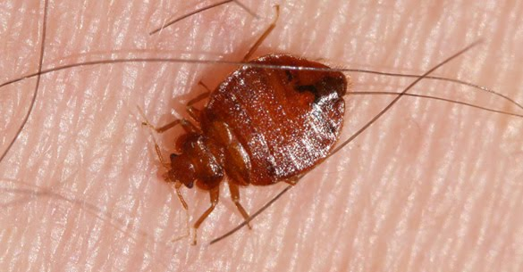 Picture Insights: Bed Bugs